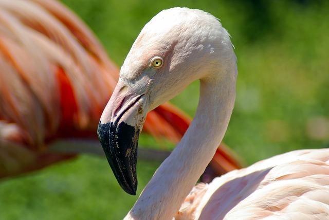 Flamingo at the Henry Vilas Zoo